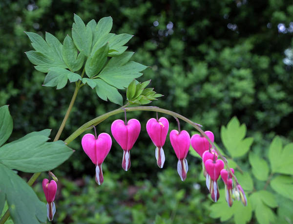 Photograph - Bleeding Heart by Chris Berrier