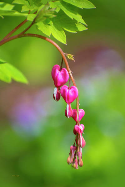 Photograph - Bleeding Heart Flowers by Christina Rollo