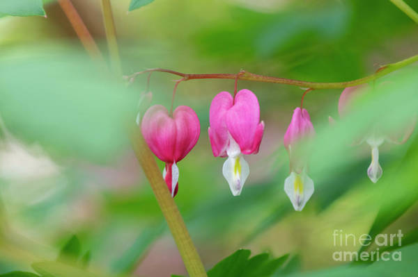Photograph - Bleeding Heart Flowers  by Tim Gainey