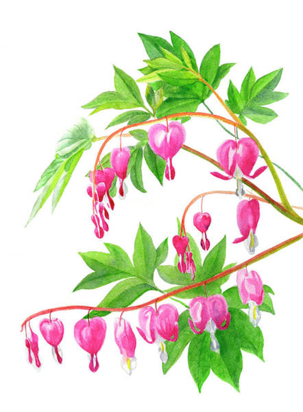 Freeman Wall Art - Painting - Bleeding Hearts #1 by Sharon Freeman