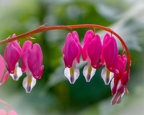 Photograph - Bleeding Hearts by Susan Rydberg