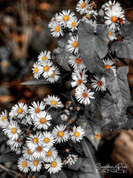 Photograph - Blended Daisy's by Lance Sheridan-Peel