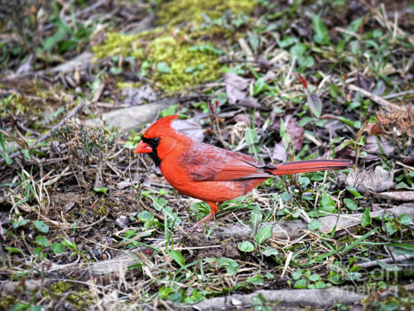 Photograph - Blessed By Red - Male Northern Cardinal by Kerri Farley