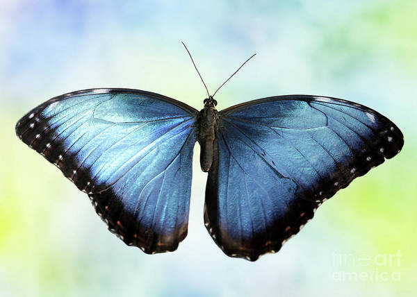Photograph - Blissful Blue Morpho Butterfly by Sabrina L Ryan