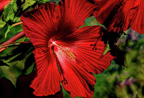 Wall Art - Photograph - Blood Red Hibiscus  by Geraldine Scull