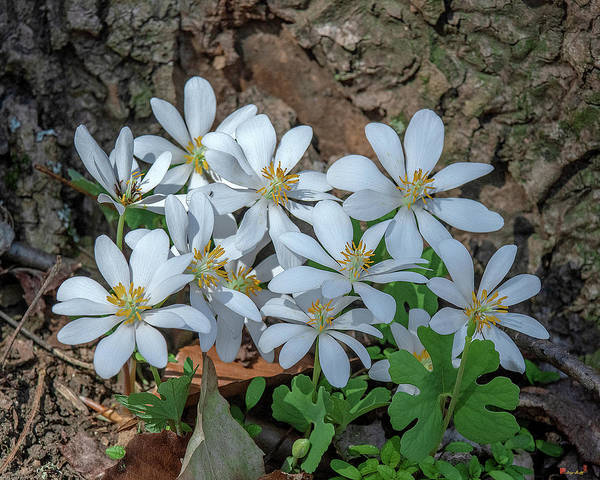 Photograph - Bloodroot Dfl0941 by Gerry Gantt