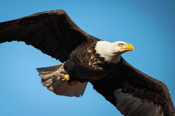 Photograph - Bloody Bald Eagle by Jeff Phillippi