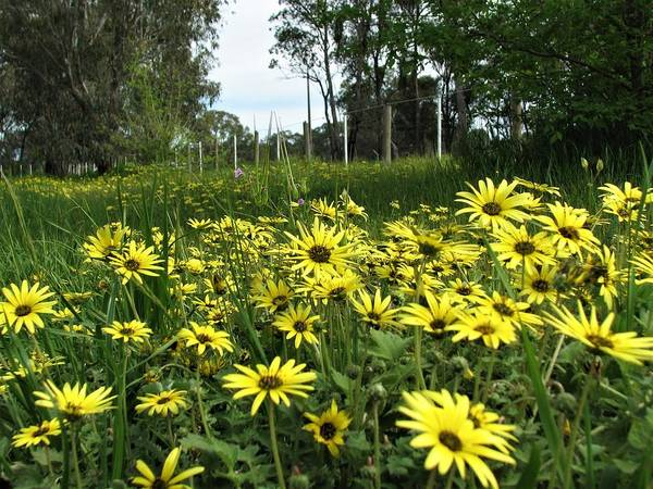 Photograph - Bloomin Wild Daisies by Joan Stratton