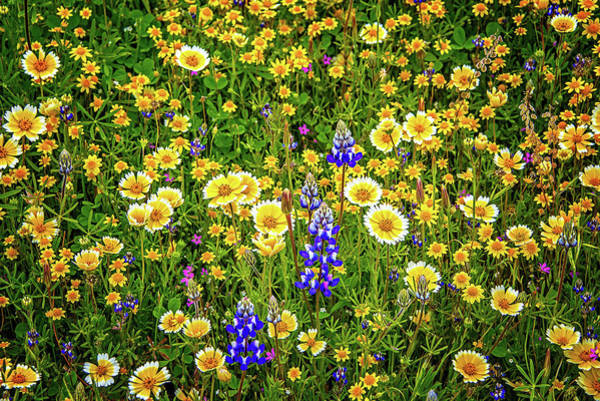 Photograph - Blooming Beauty - Superbloom 2019 by Lynn Bauer