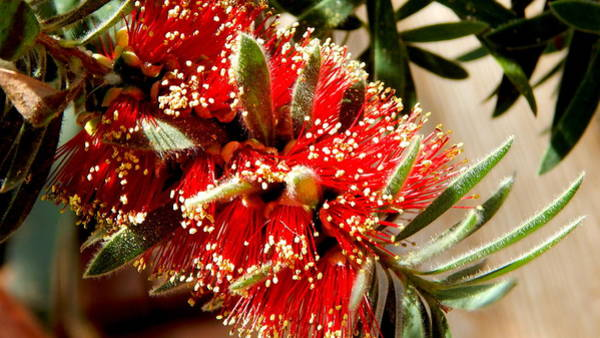 Wall Art - Photograph - Blooming Bottlebrush - Close Up by Arlane Crump