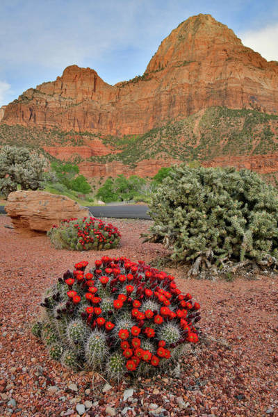 Photograph - Blooming Cacti In Zion Canyon by Ray Mathis