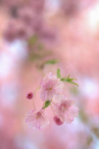 Photograph - Blooming Cherry Blossoms by Kristen Wilkinson