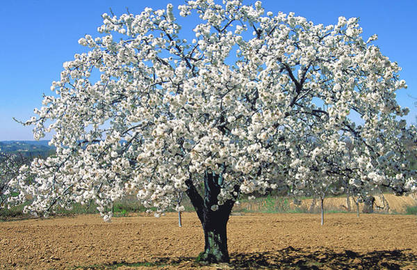 Fruit Trees Wall Art - Photograph - Blooming Cherry Tree by Bernard Jaubert