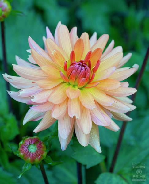 Photograph - Blooming Dahlia by Jonathan Hansen