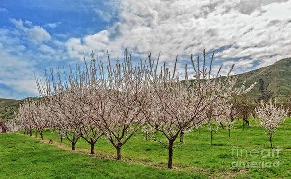 Wall Art - Photograph - Blooming Orchard by Robert Bales