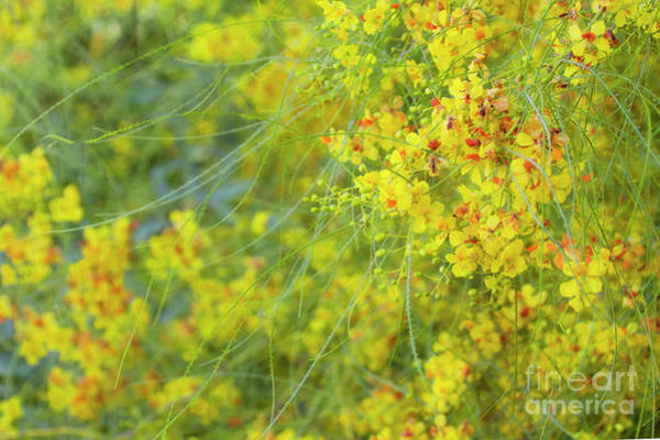 Wall Art - Photograph - Blooming Palo Verde Tree by Ruth Jolly