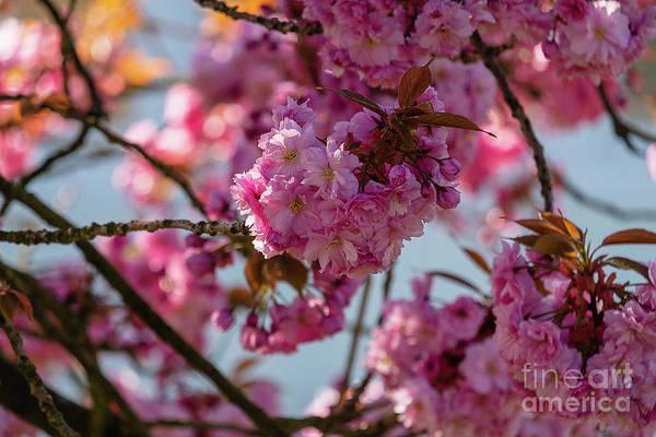Photograph - Blooming Pink Sakura by Marina Usmanskaya