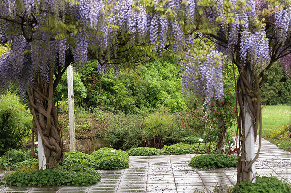 Photograph - Blooming Purple Wisteria In Garden by Jenny Rainbow