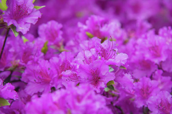 Wall Art - Photograph - Blooming Rhododendron Purple Triumph  by Jenny Rainbow