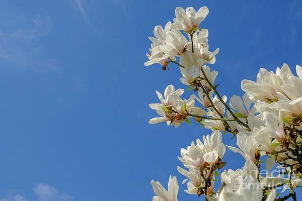 Photograph - Blooming White Magnolia. Spring by Marina Usmanskaya
