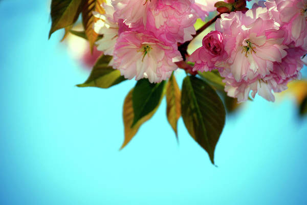 New Leaf Photograph - Blossomg Tree In Spring, Very Shallow by Mableen
