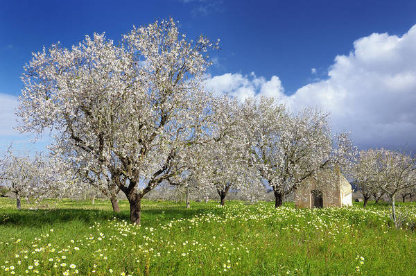 Blossoming Almond Trees, Prunus Triloba Art Print