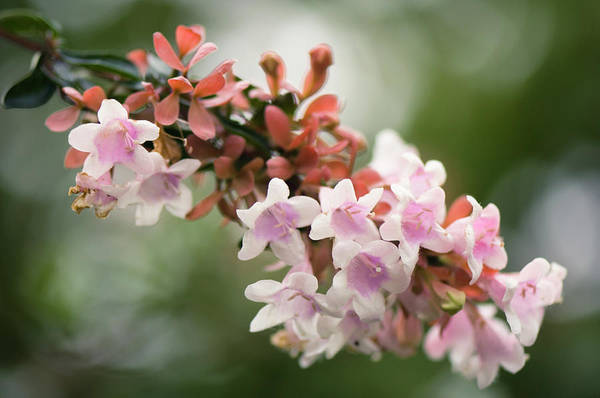 Rockville Photograph - Blossoming Branch Of Abelia Bush by Maria Mosolova