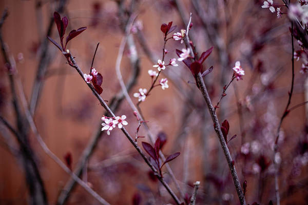 Photograph - Blossoming Purple Leaf Sand Cherry by Jeanette Fellows