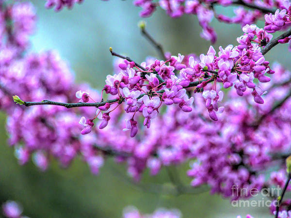 Photograph - Blossoming Red Bud by Amy Dundon