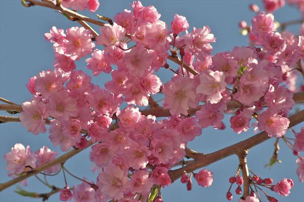 Wilmington Delaware Wall Art - Photograph - Blossoms Of Prunus Serrulata Jap. Cherry by Lisa J. Goodman