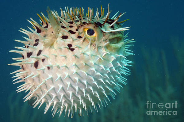 Wall Art - Photograph - Blowfish Or Diodon Holocanthus by Beth Swanson