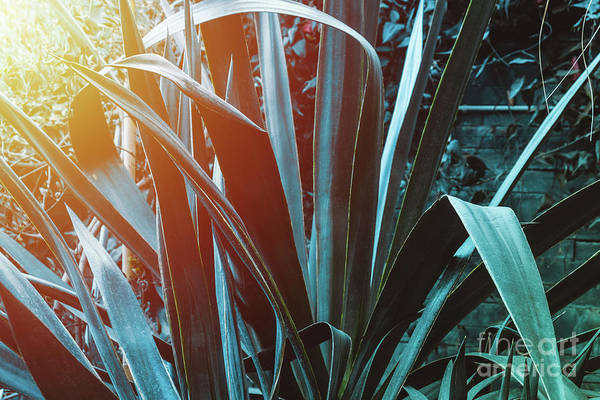 Photograph - Blue Agave With Sunlight by Marina Usmanskaya