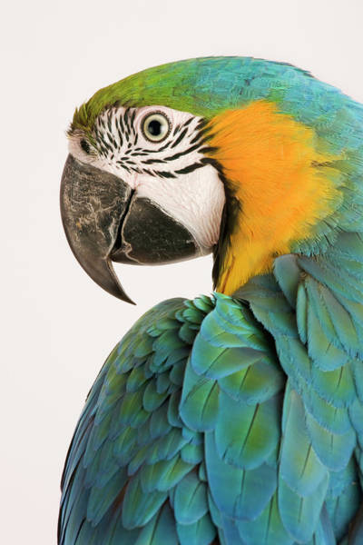 Macaw Photograph - Blue And Gold Macaw Ara Ararauna by Martin Harvey