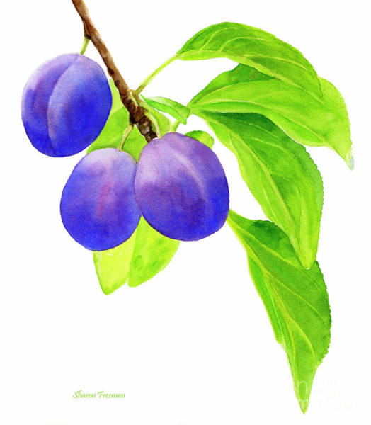 Wall Art - Painting - Blue And Purple Plums On White by Sharon Freeman