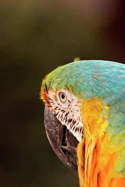 Wall Art - Photograph - Blue And Yellow Macaw, Ara Ararauna by Adam Jones