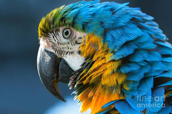 Wall Art - Photograph - Blue-and-yellow Macaw Lat. Ara Ararauna by Bogachyova Arina