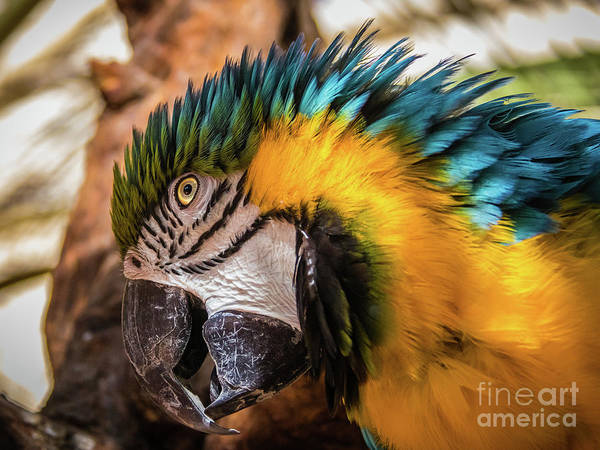 Photograph - Blue And Yellow Macaw Portrait by Lyl Dil Creations