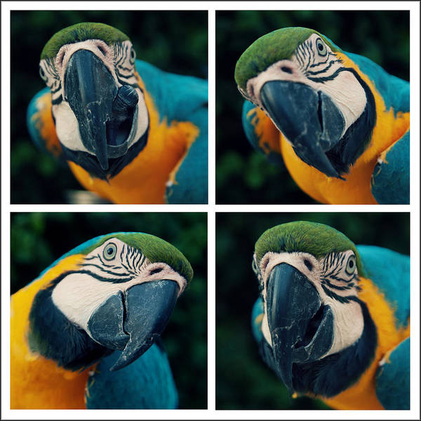 Macaw Photograph - Blue And Yellow Macaw by Photo By Melissa Keizer