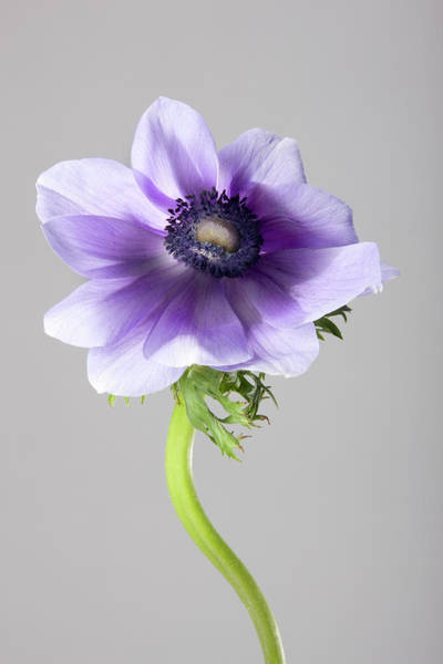 Tubers Photograph - Blue Anemone Flower by Tooga