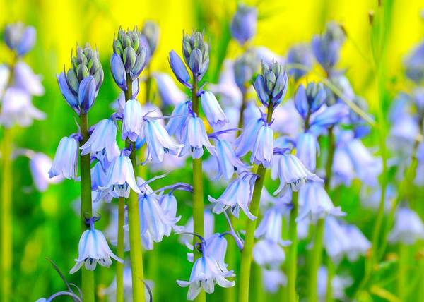 Wall Art - Photograph - Blue Bells by Diana Angstadt