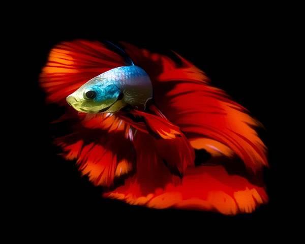 Digital Art - Blue Body Red Fin Betta Fish by Scott Wallace Digital Designs