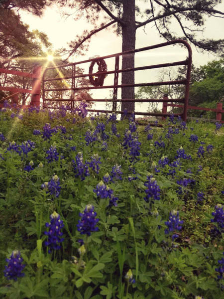 Photograph - Blue Bonnet Gateway by Amanda Smith