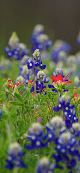 Photograph - Blue Bonnets And A Paintbrush by Amanda Smith