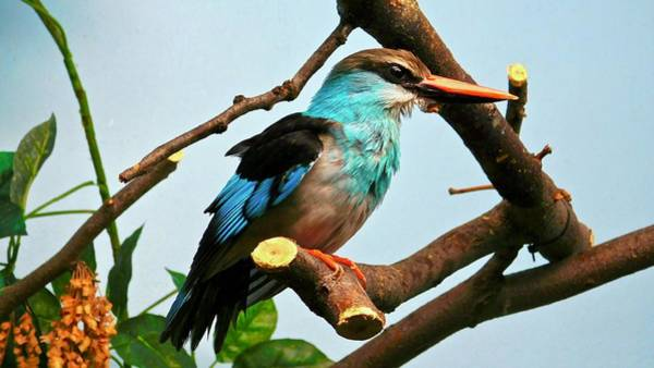 Photograph - Blue-breasted Kingfisher by Dan Miller