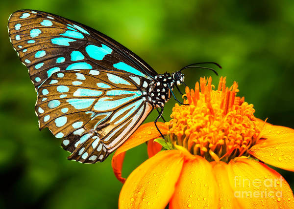 Beautiful Butterfly Photograph - Blue Butterfly Fly In Morning Nature by Anek.soowannaphoom