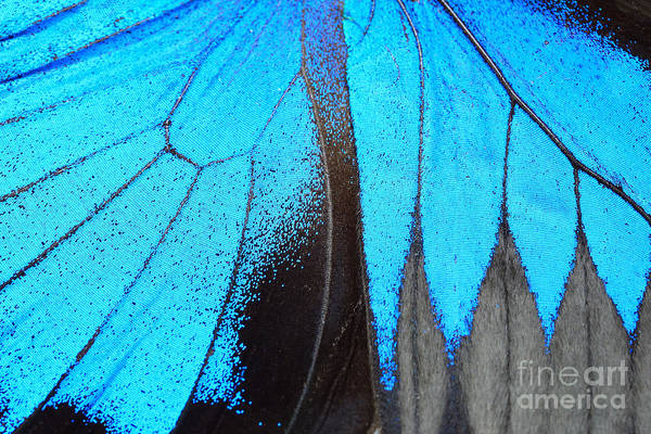 Wall Art - Photograph - Blue Butterfly Wing, Nature Pattern by Panu Ruangjan