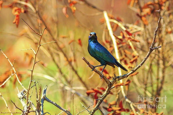 Photograph - Blue Cape Starling by Benny Marty