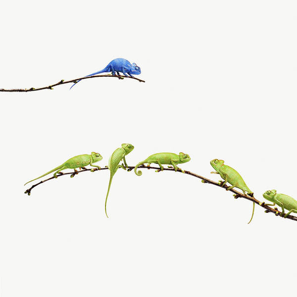 Out Of Business Wall Art - Photograph - Blue Chameleon  Looks At Group Of Green by Maarten Wouters