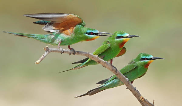 Blue Photograph - Blue Checked Bee Eaters by Sulqatar@yahoo.com