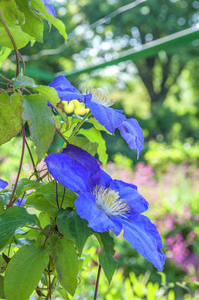 Climbing Vine Photograph - Blue Clematis by Lisa S. Engelbrecht